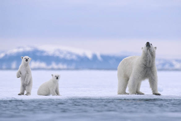 Polar Bear Mother and Cubs on Sea Ice